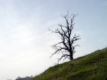 Leafless blue oak on the slope above Lake Millerton